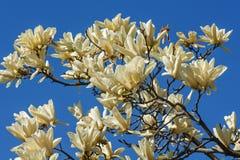 Flores da magnólia do cálice do marfim Fotos de Stock