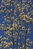 Flores da magnólia do cálice do marfim Imagem de Stock Royalty Free