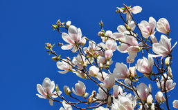Flores da magnólia da mola e céu azul Foto de Stock Royalty Free
