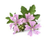 Flores da malva Imagens de Stock