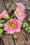 Flores da malva cor-de-rosa do jardim no fundo branco Imagens de Stock