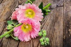 Flores da malva cor-de-rosa do jardim no fundo branco Fotografia de Stock