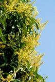 Flores da manga Fotografia de Stock