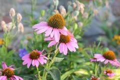 Flores da manhã Fotografia de Stock