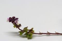 Flores da manjericão Imagem de Stock Royalty Free