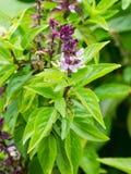 Flores da manjericão no jardim Imagens de Stock Royalty Free