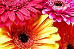 Flores da margarida Foto de Stock Royalty Free