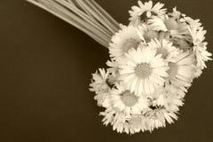 Flores da margarida Fotos de Stock Royalty Free