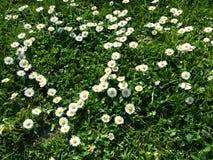 Flores da margarida Imagens de Stock Royalty Free