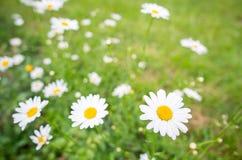 Flores da margarida branca Fotos de Stock Royalty Free