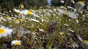 Flores da margarida branca na natureza filme