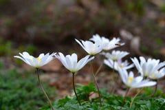 Flores da margarida com abelha de zumbido Imagem de Stock Royalty Free