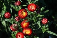 Flores da margarida da cor vermelha Fotos de Stock Royalty Free