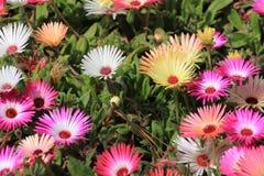 Flores da margarida de Livingstone Imagens de Stock Royalty Free