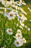 Flores da margarida de Shasta Fotografia de Stock