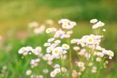 Flores da margarida do campo fotografia de stock royalty free