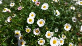 Flores da margarida na flor imagem de stock