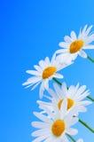 Flores da margarida no fundo azul imagens de stock royalty free