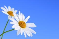 Flores da margarida no fundo azul Fotos de Stock Royalty Free