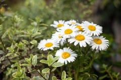 Flores da margarida no pensionista do jardim imagens de stock