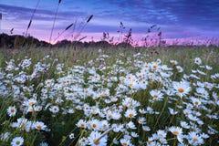 Flores da margarida no por do sol cor-de-rosa Imagens de Stock Royalty Free