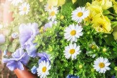 Flores da margarida que florescem e luz da manhã Fotos de Stock Royalty Free