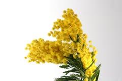 Flores da mimosa Fotografia de Stock Royalty Free