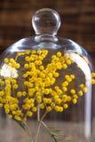 Flores da mimosa sob um tampão de vidro Fotografia de Stock