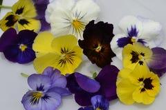 Flores da mistura da viola Foto de Stock Royalty Free