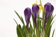 Flores da mola Imagens de Stock Royalty Free