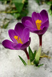 Flores da mola. Imagens de Stock Royalty Free