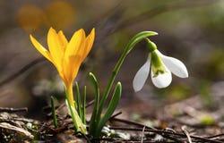 Flores da mola - açafrão e snowdrop amarelos Fotos de Stock Royalty Free