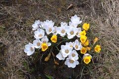 Flores da mola - açafrões Fotografia de Stock