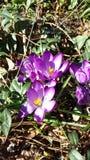 Flores da mola - açafrões Foto de Stock Royalty Free