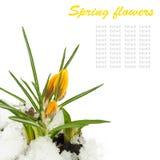Flores da mola, açafrões amarelos, neve Fotografia de Stock