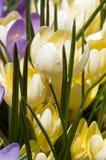Flores da mola, açafrões frescos Fotos de Stock