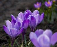 Flores da mola, - açafrões roxos Profundidade de campo fina Imagens de Stock