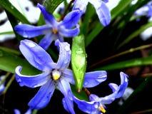 Flores da mola, açafrões, snowdrops Imagens de Stock
