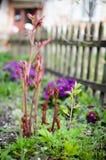 Flores da mola atrás da cerca Imagem de Stock Royalty Free