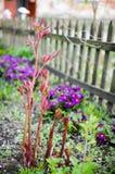 Flores da mola atrás da cerca Foto de Stock