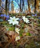 flores da mola através das montanhas nos cumes imagens de stock royalty free