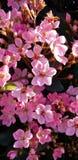 Flores da mola - begônias cor-de-rosa pasteis foto de stock royalty free