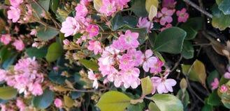 Flores da mola - begônias cor-de-rosa pasteis fotografia de stock royalty free