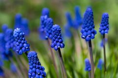 Flores da mola Close-up do Muscari, flores azuis, roxas fotografia de stock