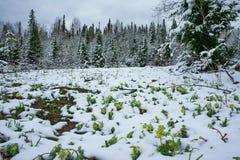 Flores da mola cobertas com a neve. fotos de stock royalty free