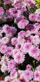 Flores da mola - crisântemos cor-de-rosa pasteis fotos de stock
