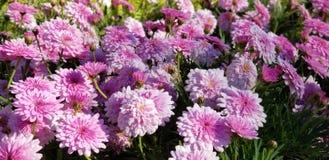 Flores da mola - crisântemos cor-de-rosa pasteis imagens de stock