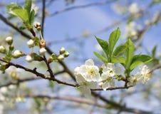 Flores da mola da árvore de fruto Fotos de Stock Royalty Free