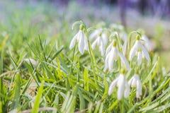 Flores da mola de Snowdrop A flor delicada de Snowdrop é um dos símbolos da mola que dizem nos que o inverno está saindo e nós te fotografia de stock royalty free