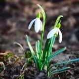 Flores da mola de Snowdrops Fotos de Stock Royalty Free
